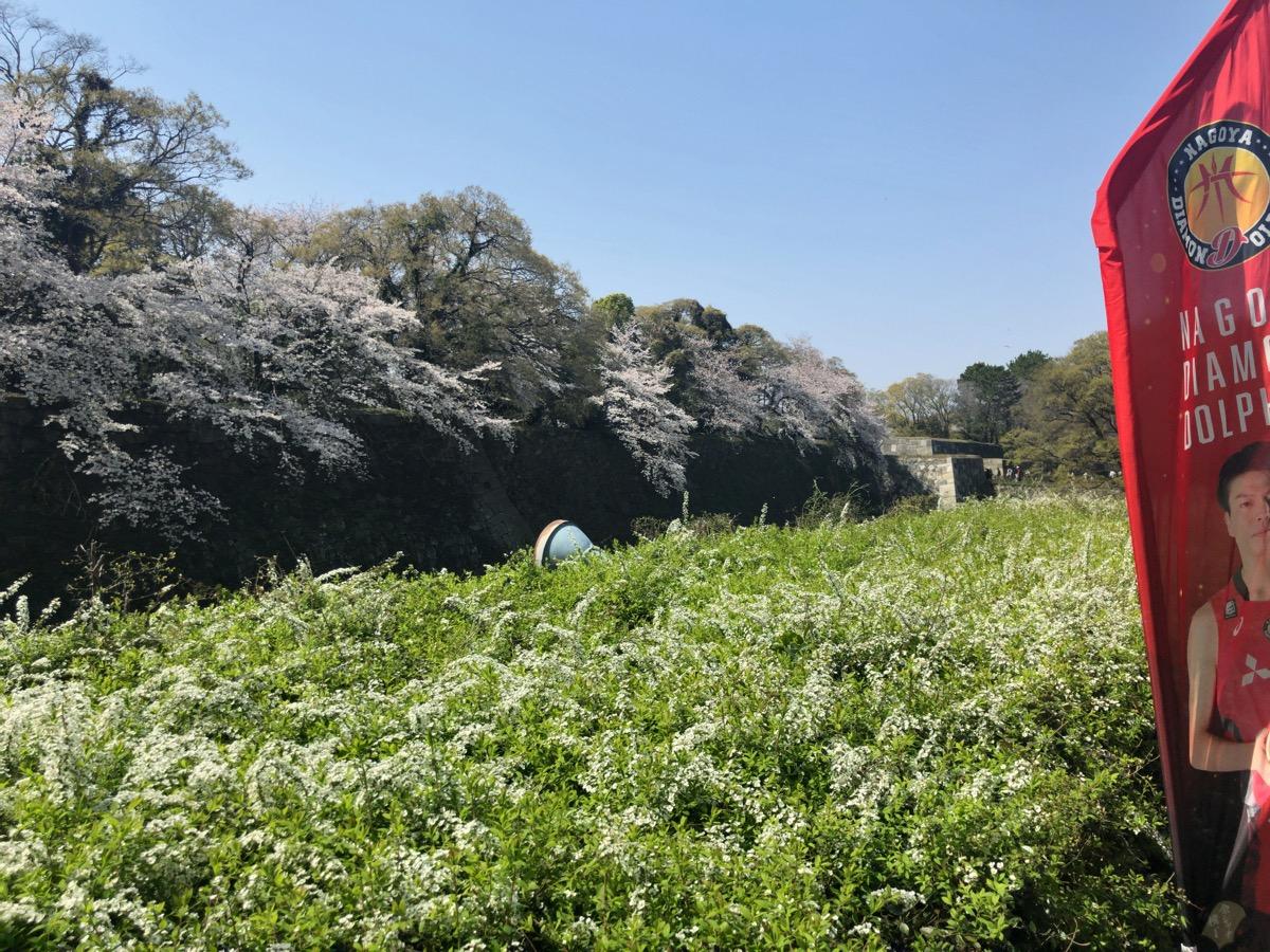名古屋城の堀に咲く桜